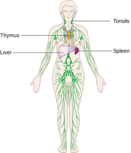 lymphatic system, physical therapy